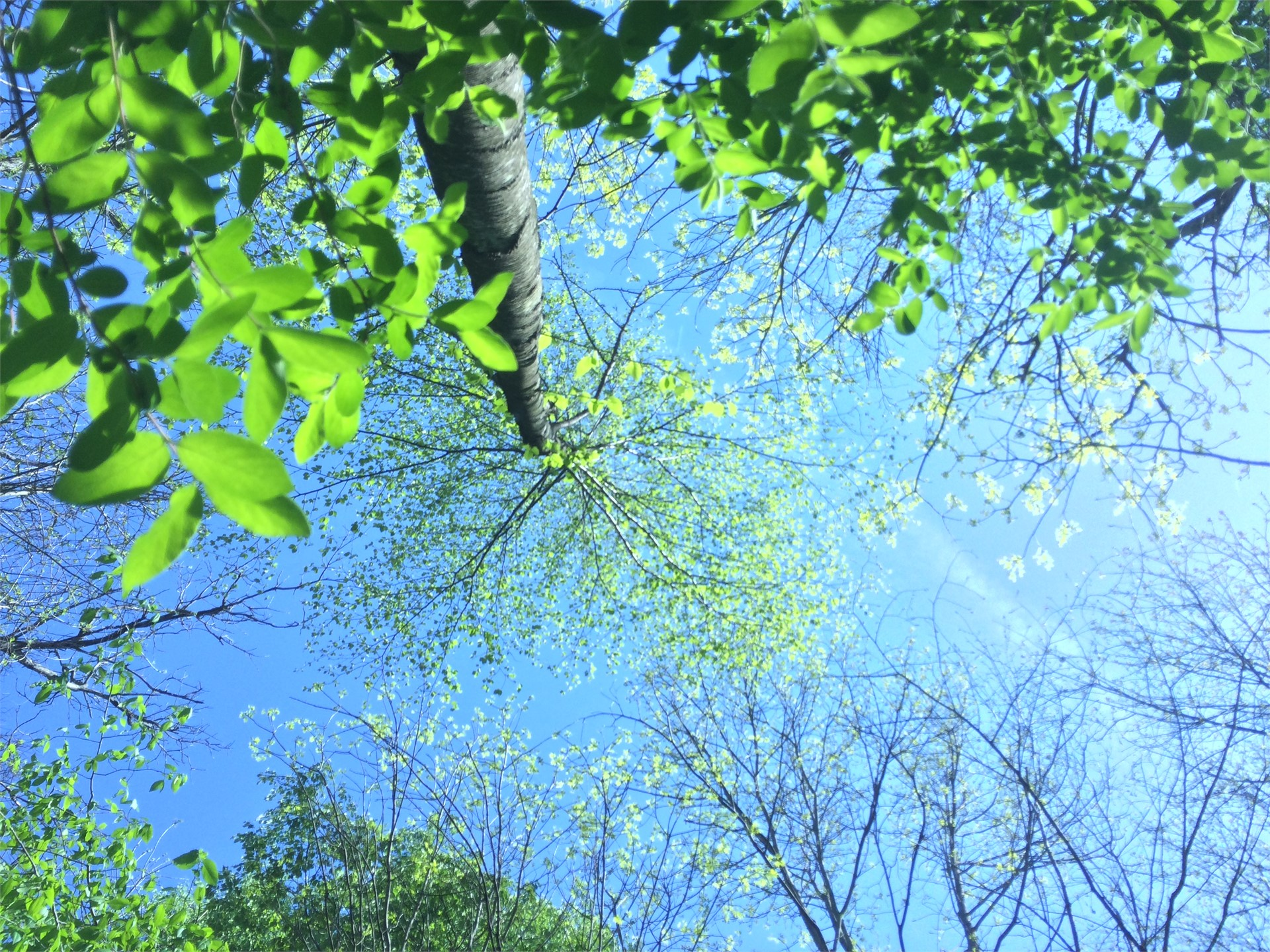 This is a photo looking upward toward the sky and the tree canopy.